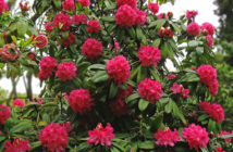 Rhododendron arboreum - Tree Rhododendron