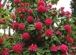 Rhododendron arboreum - Tree Rhododendron
