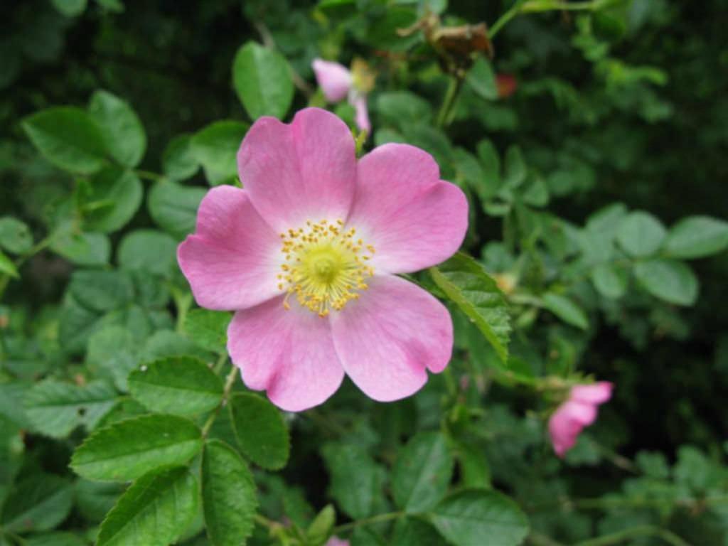 Rosa Rubiginosa Sweet Briar Rose World Of Flowering Plants