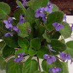 Saintpaulia ionantha subsp. grotei - African Violet