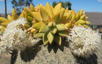 Sedum nussbaumerianum - Coppertone Stonecrop