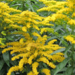 Solidago canadensis - Canadian Goldenrod