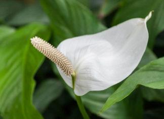 Spathiphyllum cochlearispathum - Cupido Peace Lily
