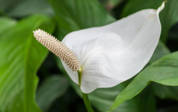 Spathiphyllum cochlearispathum - Cupido Peace Lily