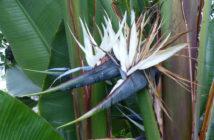 Strelitzia alba - White Bird of Paradise