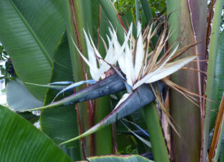 Strelitzia alba - White Bird of Paradise