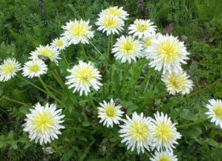 Taraxacum albidum - White Dandelion