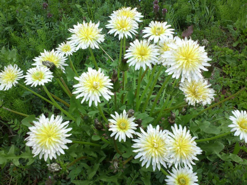 Taraxacum albidum (White Dandelion) | World of Flowering ...