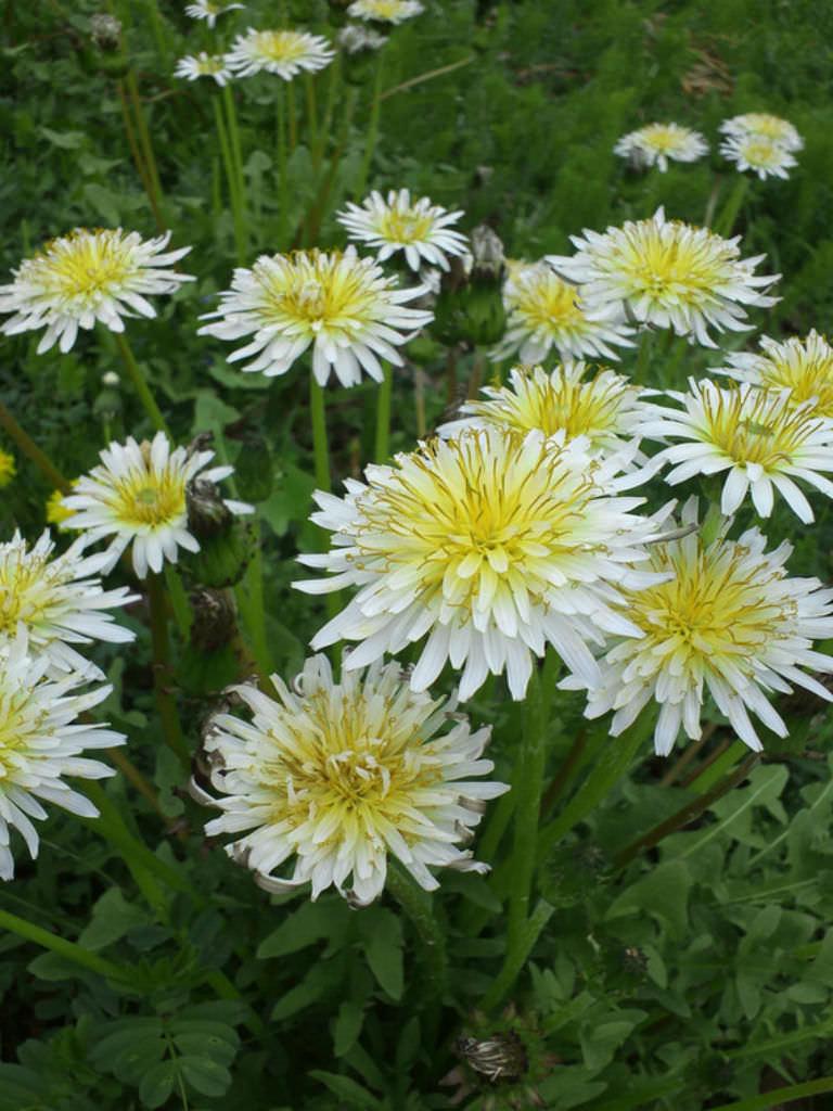 Taraxacum Albidum White Dandelion World Of Flowering
