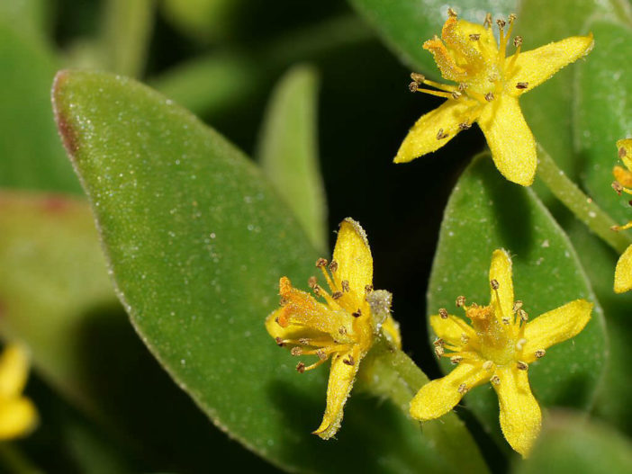 Tetragonia implexicoma - Bower Spinach