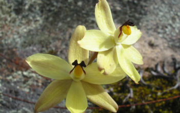 Thelymitra antennifera - Rabbit Eeared Sun Orchid