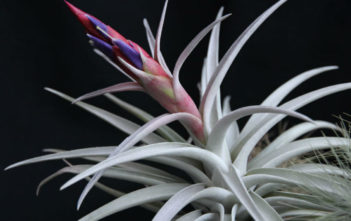 Tillandsia harrisii - Air Plant