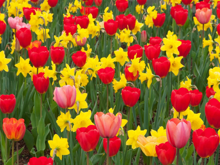 Tulips with Daffodils