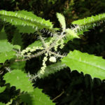 Urtica ferox - Tree Nettle