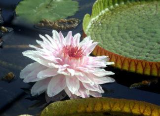 Victoria cruziana - Santa Cruz Water Lily