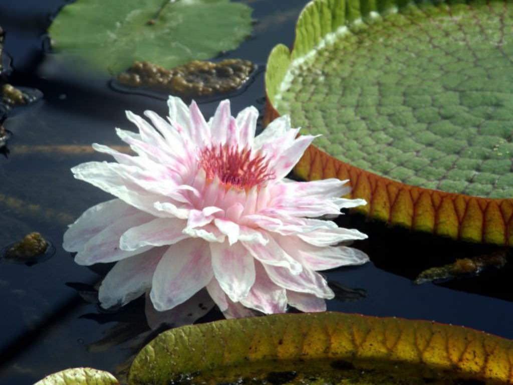 Victoria Cruziana Santa Cruz Water Lily World Of Flowering Plants