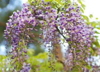 Wisteria floribunda - Japanese Wisteria
