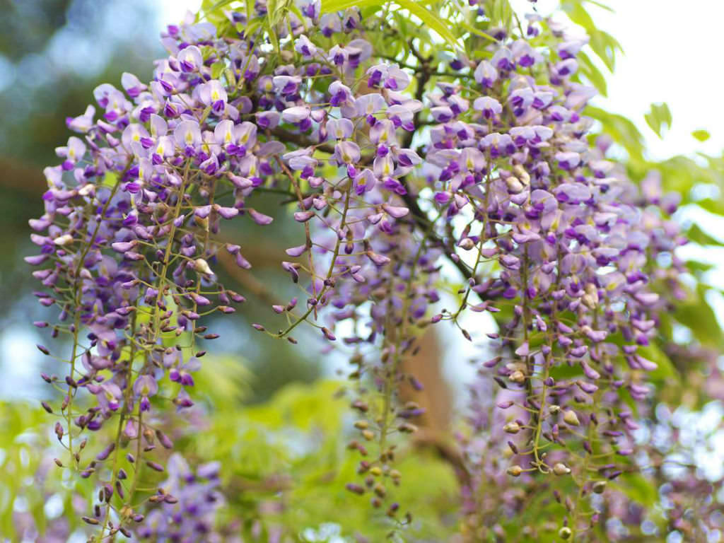 Wisteria Chinese: photos, descriptions, features of planting and care 55