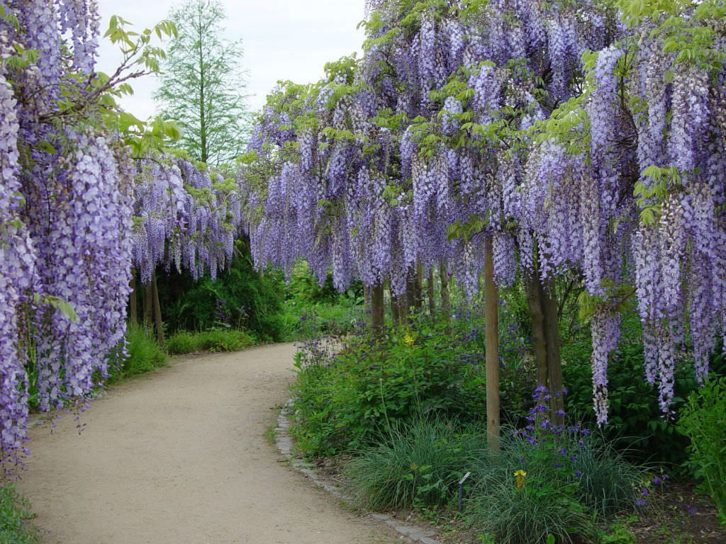 wisteria floribunda japanese wisteria world of flowering plants. Black Bedroom Furniture Sets. Home Design Ideas