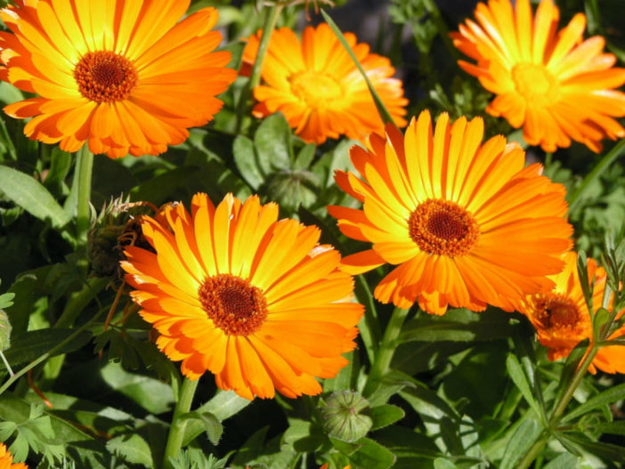 12 Annual Flowers (Calendula)