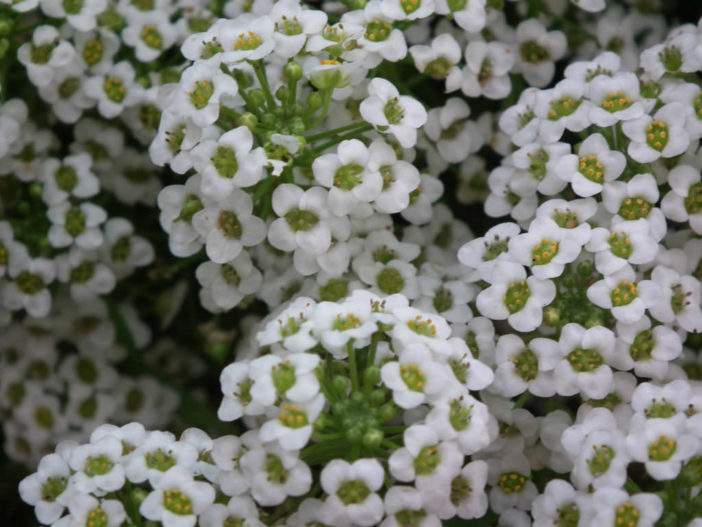 12 Annual Flowers (Sweet Alyssum)