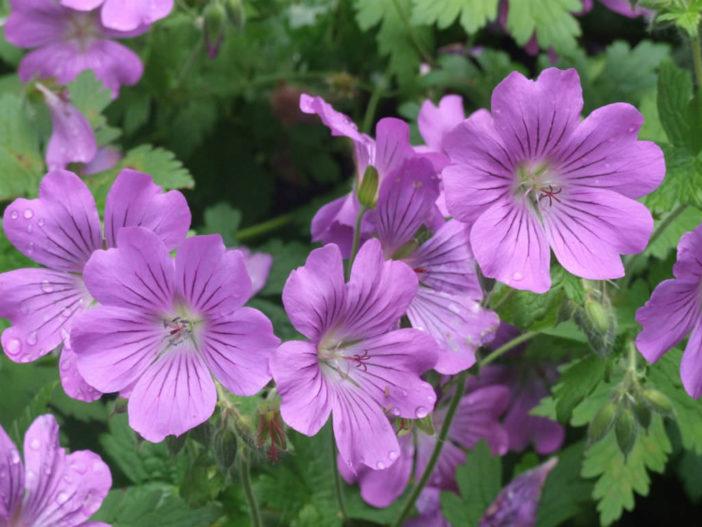 12 Annual Flowers (Geranium 'Sirak')