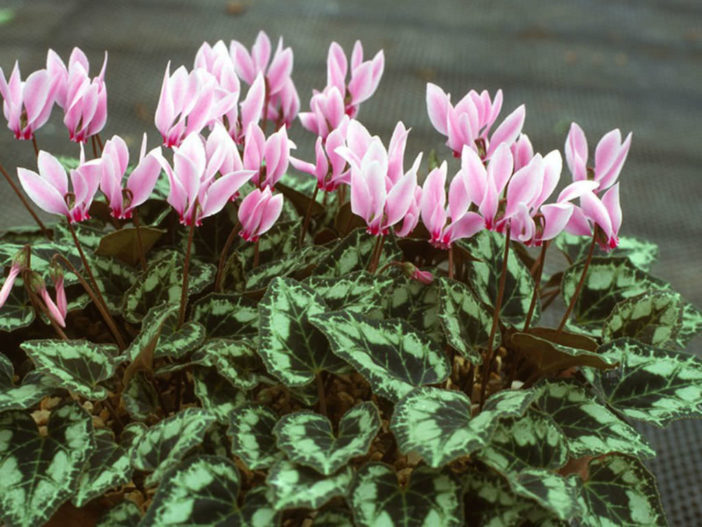 12 Annual Flowers (Cyclamen persicum)