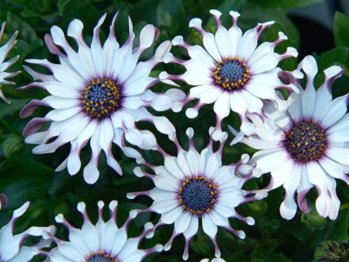 12 Annual Flowers (Osteospermum 'Sunny Philip')