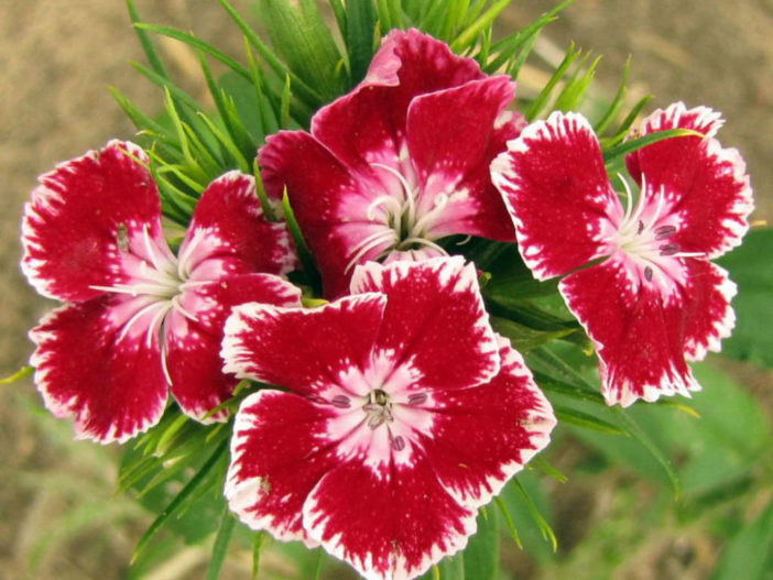 12 Annual Flowers (Dianthus)