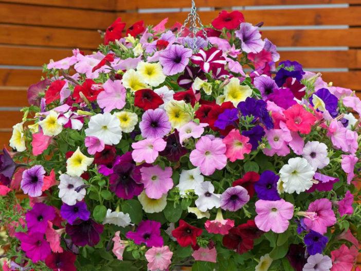 12 Annual Flowers (Petunia)