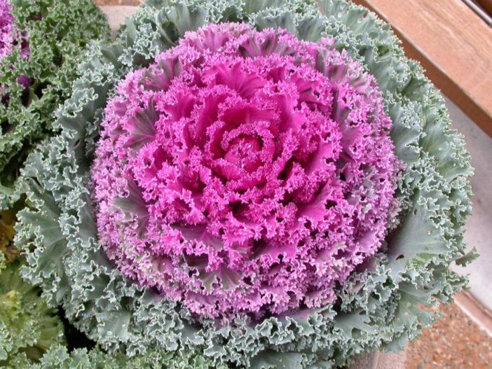 12 Annual Flowers (Flowering Kale)