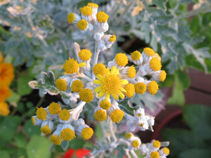 12 Annual Flowers (Dusty Miller)