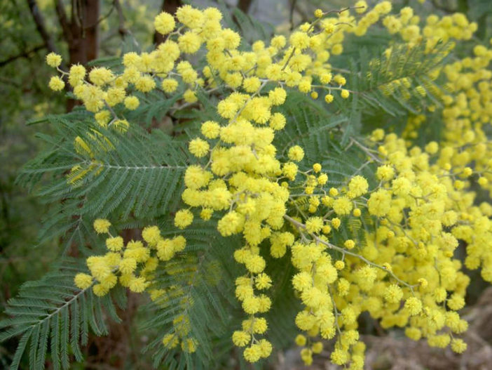 Acacia dealbata - Silver Wattle