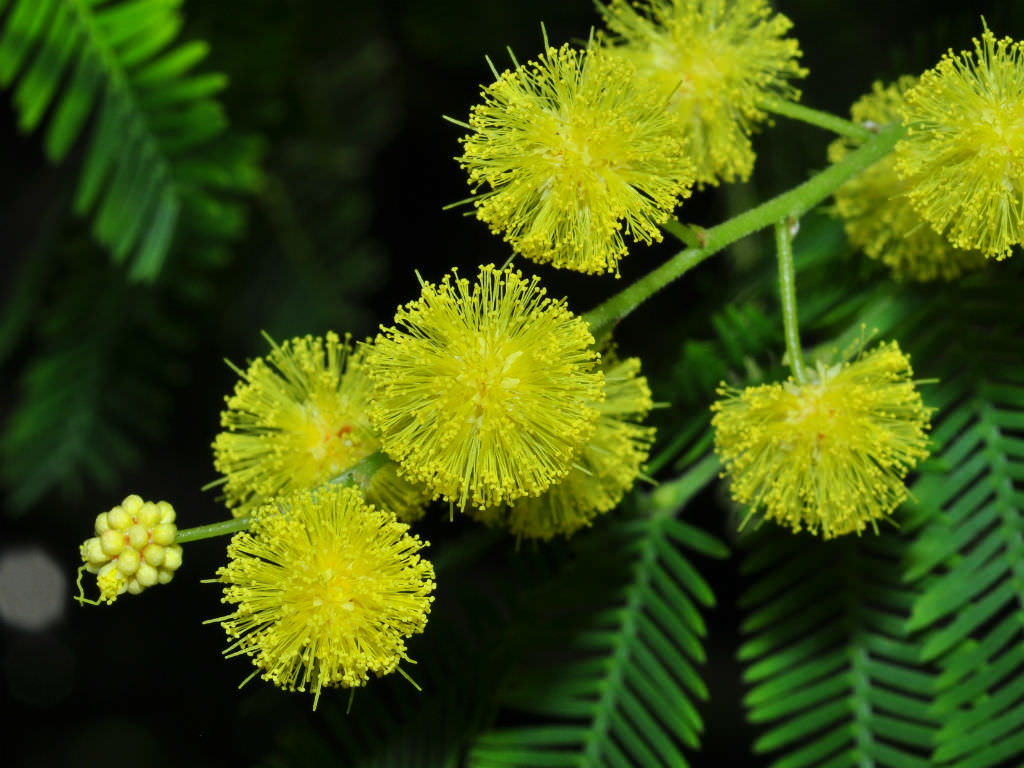 Acacia Dealbata Silver Wattle World Of Flowering Plants