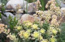 Aeonium 'Kiwi' - Kiwi Aeonium