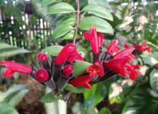 Aeschynanthus pulcher - Lipstick Plant