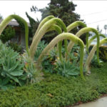 Agave attenuata - Fox Tail Agave