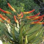 Aloe marlothii - Mountain Aloe