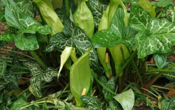 Arum italicum - Italian Arum