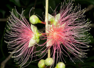 Barringtonia racemosa - Powderpuff Mangrove