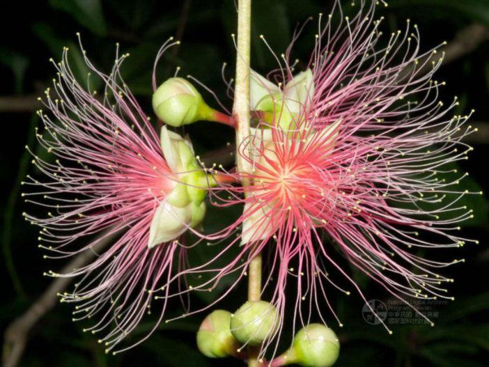 Barringtonia racemosa - Powderpuff Mangrove