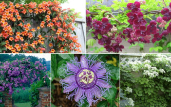 Choices for Vines and Climbing Plants