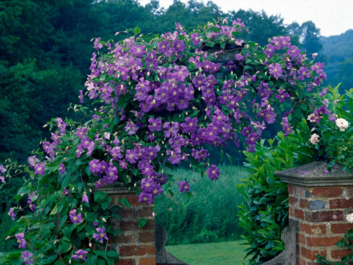Choices for Vines and Climbing Plants (Clematis)