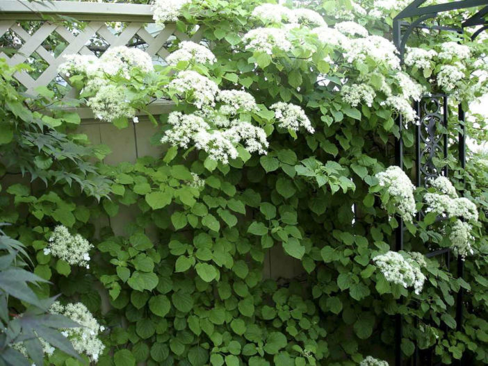 Choices for Vines and Climbing Plants (Hydrangea petiolaris)
