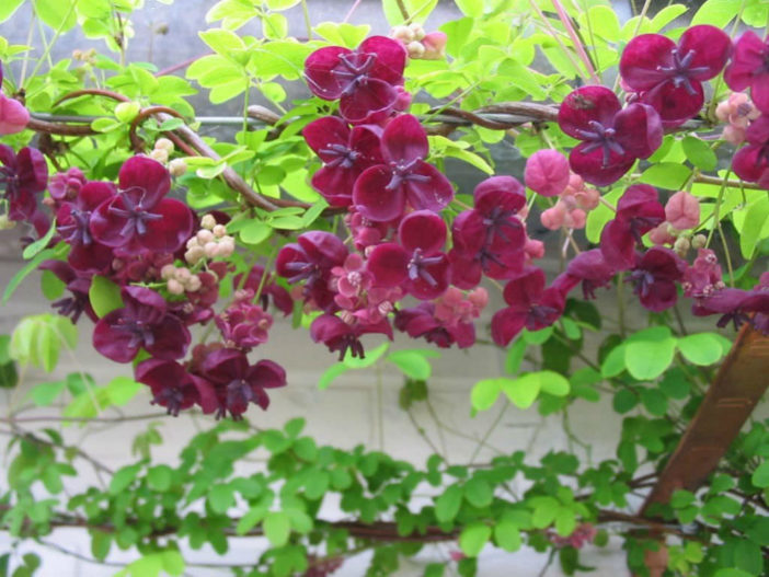 Choices for Vines and Climbing Plants (Akebia quinata)