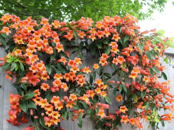 Choices for Vines and Climbing Plants5 (Campsis radicans)