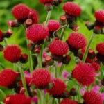 Cirsium rivulare 'Atropurpureum' - Plume Thistle