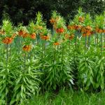 Fritillaria imperialis 'Aurora' - Crown Imperial