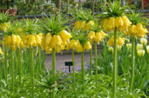 Fritillaria imperialis 'Maxima Lutea' - Yellow Crown Imperial