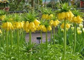 Fritillaria imperialis 'Maxima Lutea' – Yellow Crown Imperial